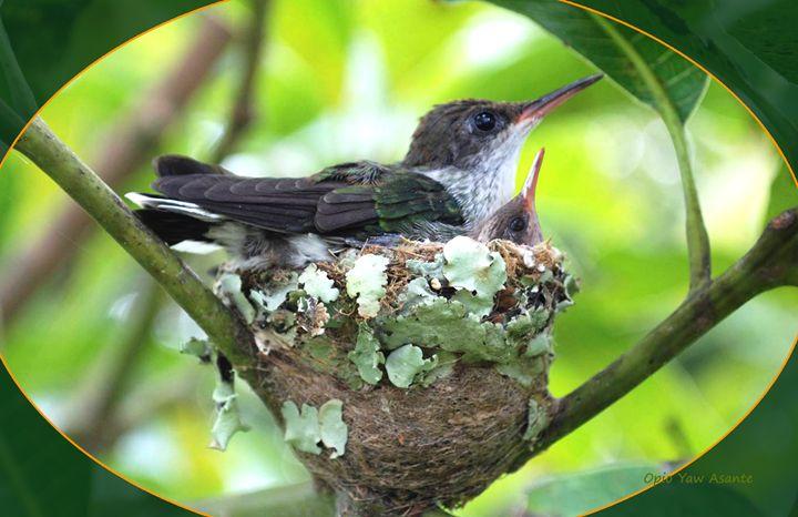 Hummingbirds In Nest - Opio Yaw Asante