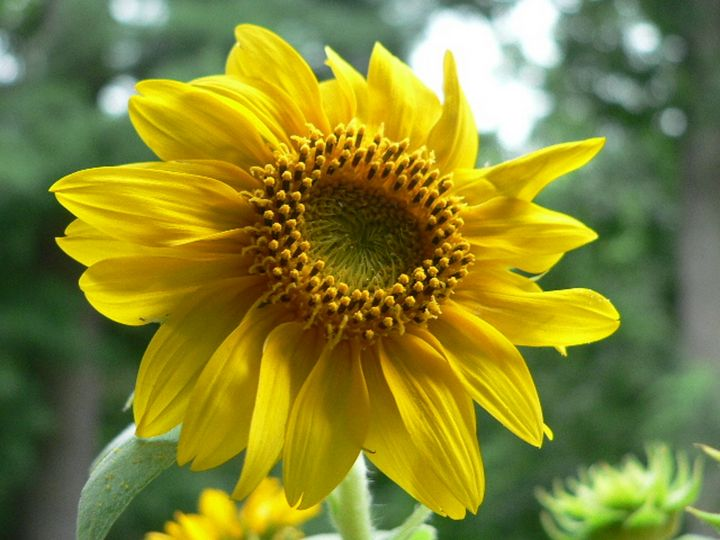 Sunflower - The Twisted Tree