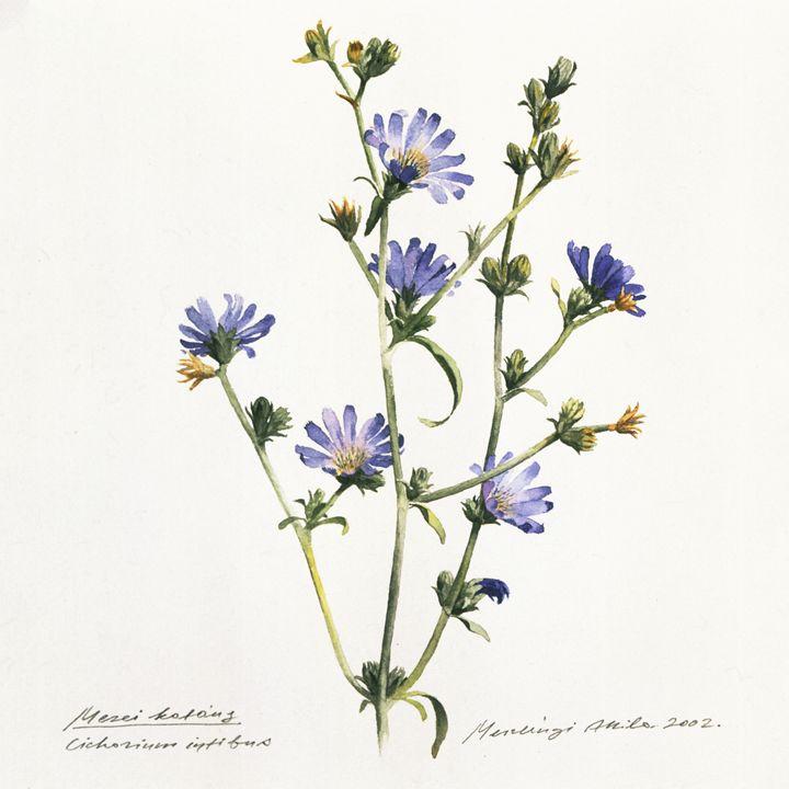 Chicory - Attila Meszlenyi