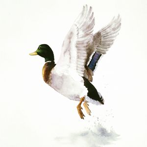 Mallard Flying Away Watercolor - Attila Meszlenyi