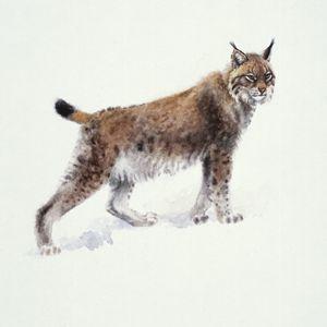 Lynx - Attila Meszlenyi