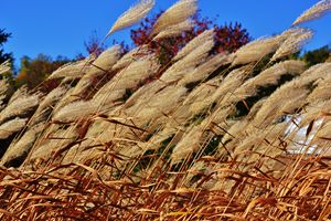 Prairie Grass Breeze