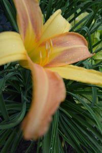 Day Lilly-Orange