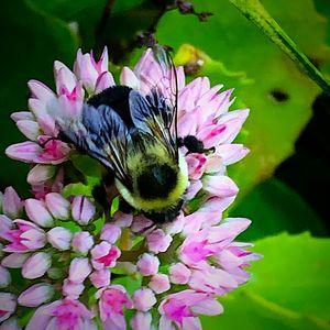 Bumblebee in action