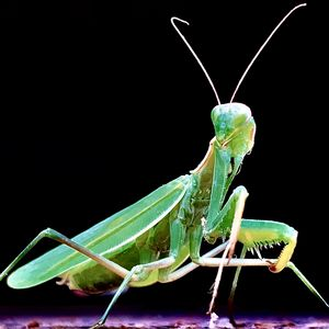 The Green Mantis - Chris Dippel
