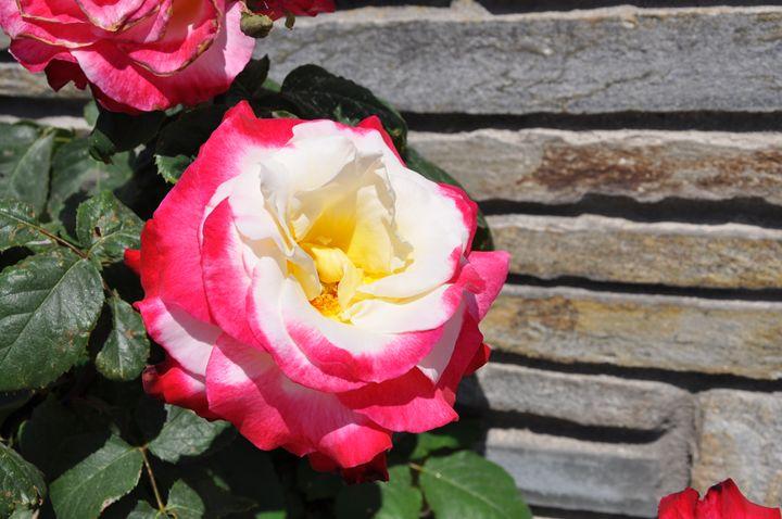 Rose - ANDREI2332