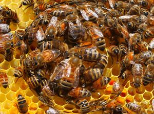 The Life Cycle of The Honey Bee