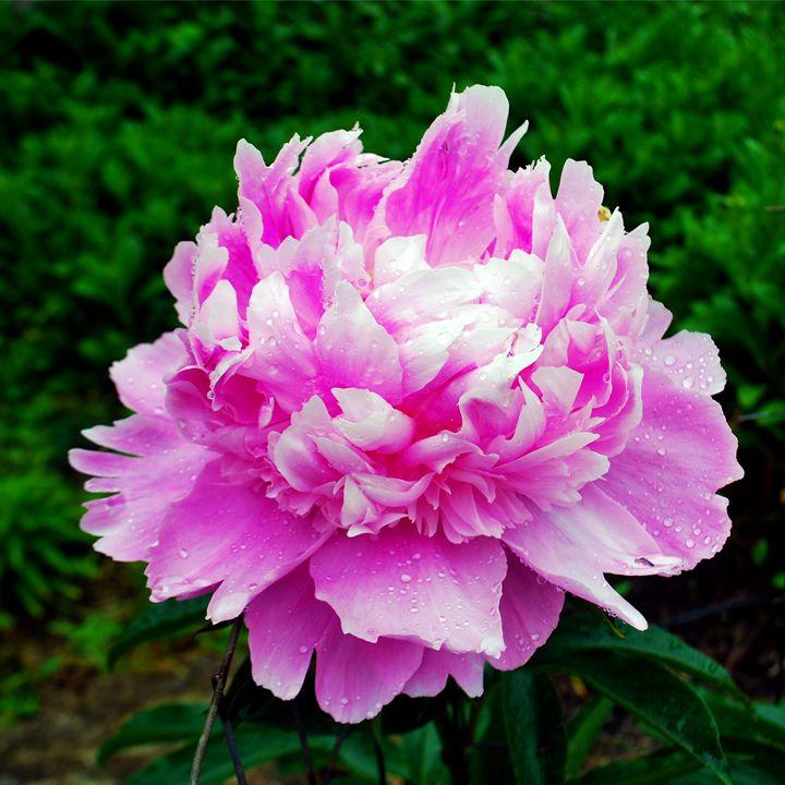 A Pink Flower - Mike Cicione