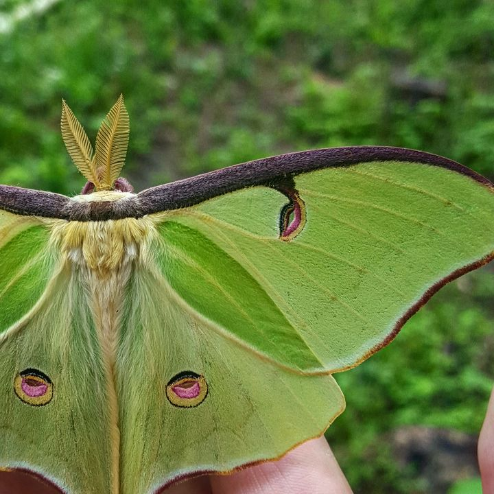 Luna Moth - Nature and Dogs
