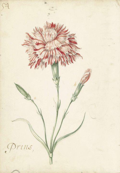 Jacob Marrel~Carnation - Classical art