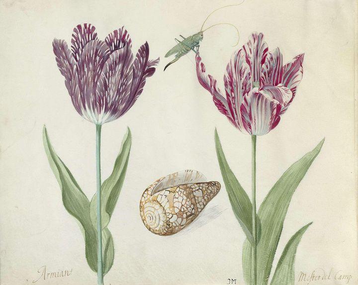 Jacob Marrel~Twee tulpen, een schelp - Classical art