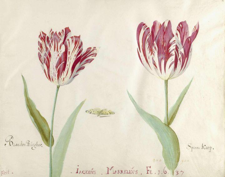 Jacob Marrel~Twee tulpen - Classical art