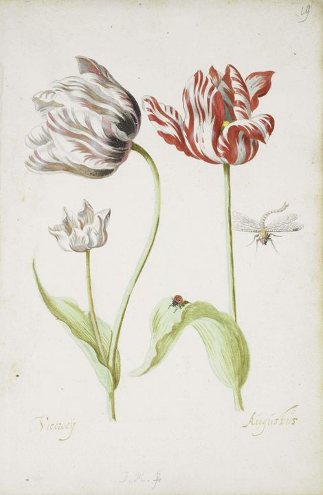 Jacob Marrel~Two Tulips with Insects - Classical art