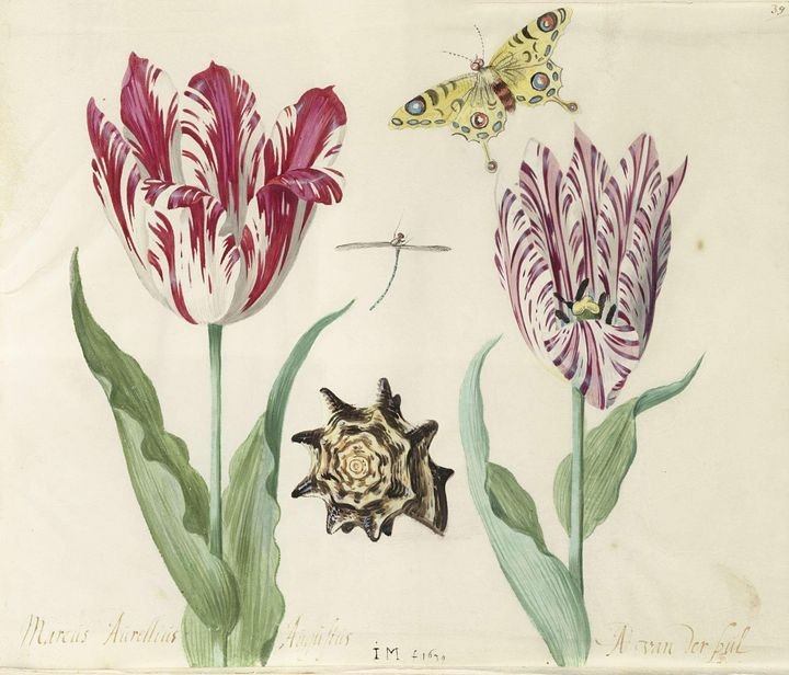 Jacob Marrel~Two Tulips, a Shell, a - Classical art