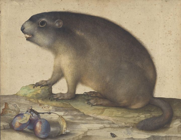Jacopo Ligozzi~A Marmot with a Branc - Classical art