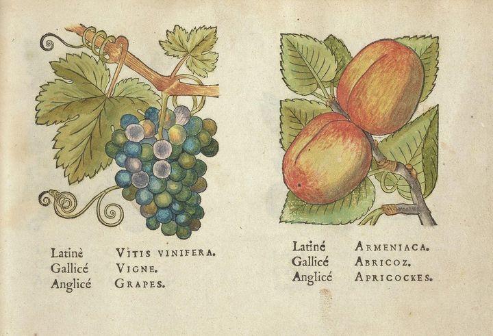 Jacques La Moyne de Morgues~Grapes a - Classical art