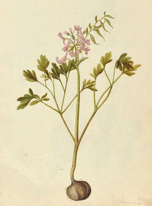 Jacques Le Moyne de Morgues~Pink Cor - Classical art