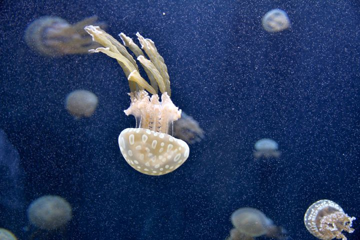 Jellyfishes - Alvin Wong Photography Gallery