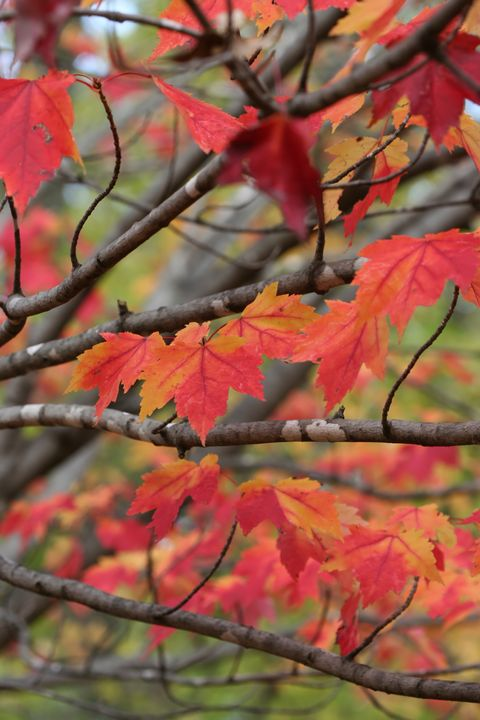 Red Maple Branches and Leaves 7115 - 50m30n3-3153