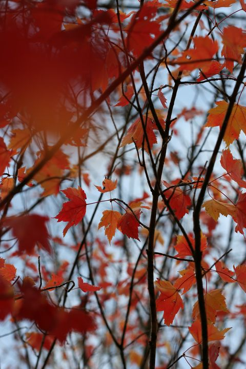 Red Maple Branches and Leaves - 50m30n3-3153