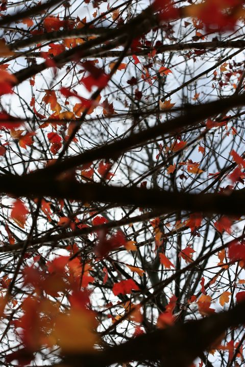 Maple Leaves, Branches, and Wind 3 - 50m30n3-3153