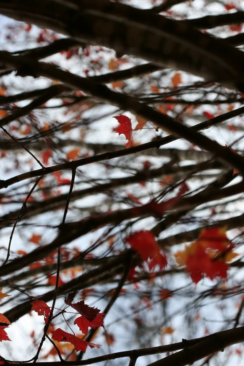 Wind, Branches, and Maple Leaves - 50m30n3-3153