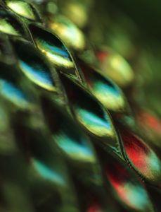 Peacock Jewels 2