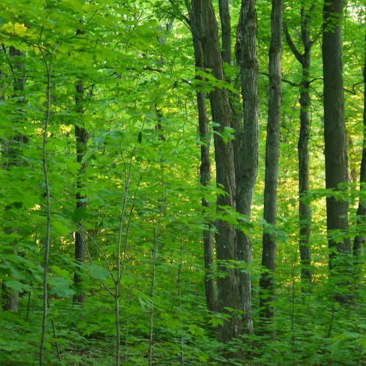 Forest Photography. Trees. - Martine Hébert