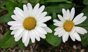 Daisy Duo