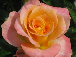 Peach kissed Rose