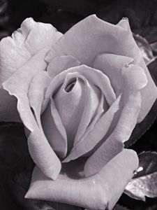 Rose in Bloom- Timeless