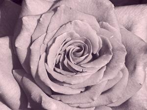 Rose for Dorthy