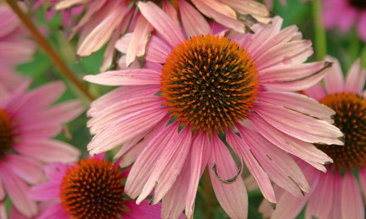 Echinacea blossoms - The World Thru My EyeZ