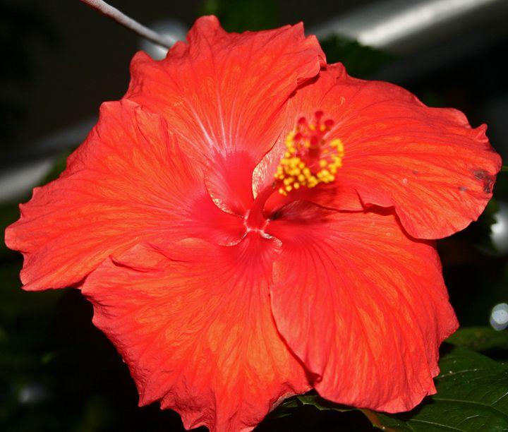 Red Hibiscus - The World Thru My EyeZ