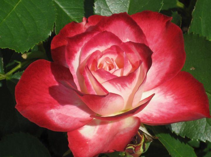 Red & White Rose - The World Thru My EyeZ