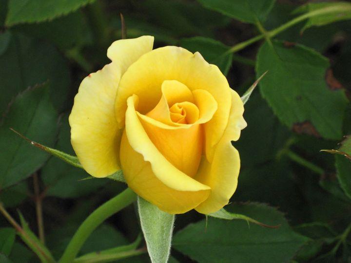 Yellow Rose in Bloom - The World Thru My EyeZ