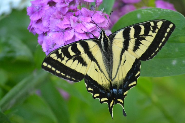 Tiger Swallowtail Butterfly - My Rose