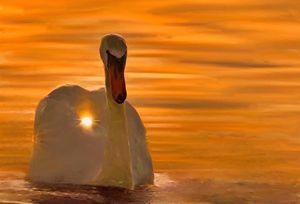 swans - Alexander Del Rey