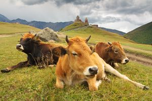 Georgia. Cows on the mountain pastur