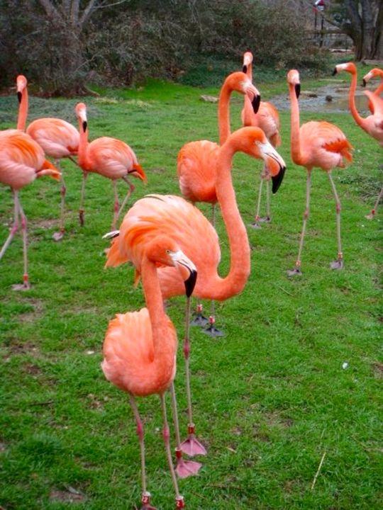 Flamingos go golfing - Jessica Free