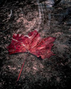 Canadian Leaf