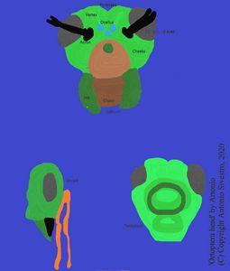 Ortopthera head