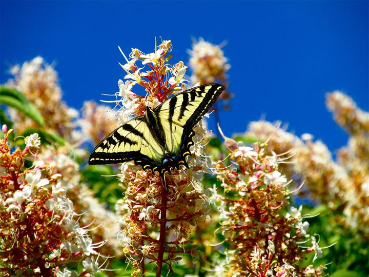 Tiger Swallowtail - Photography by MarieAlyse