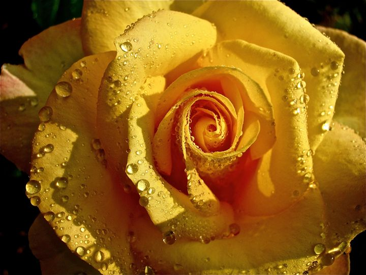 Raindrops on Roses - Photography by MarieAlyse