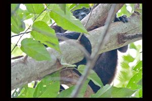 Howler Monkey in Tree: Costa Rica