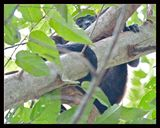 Howler Monkey, 16x20