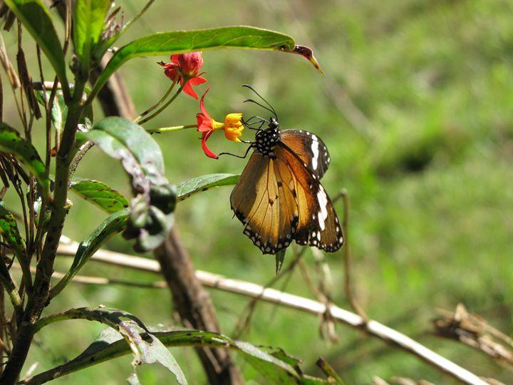 Monarch Butterfly - M.R.Art