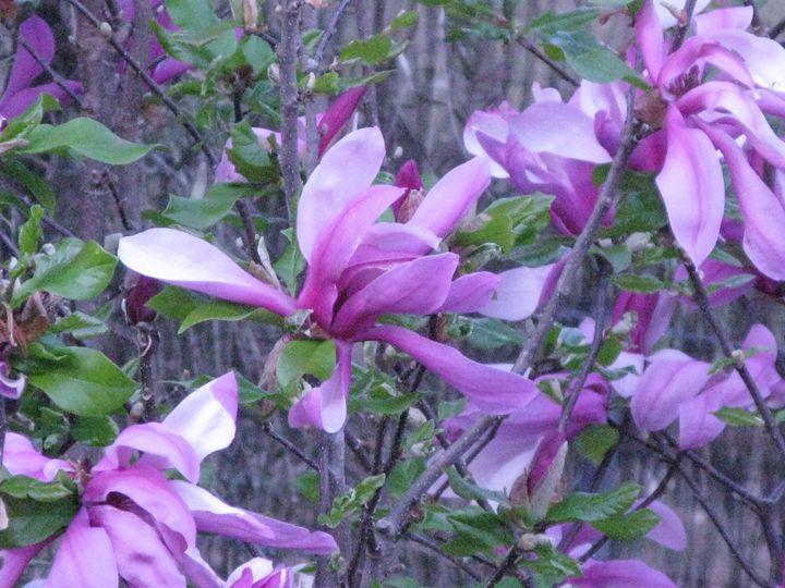 Magnolia - M.R.Art