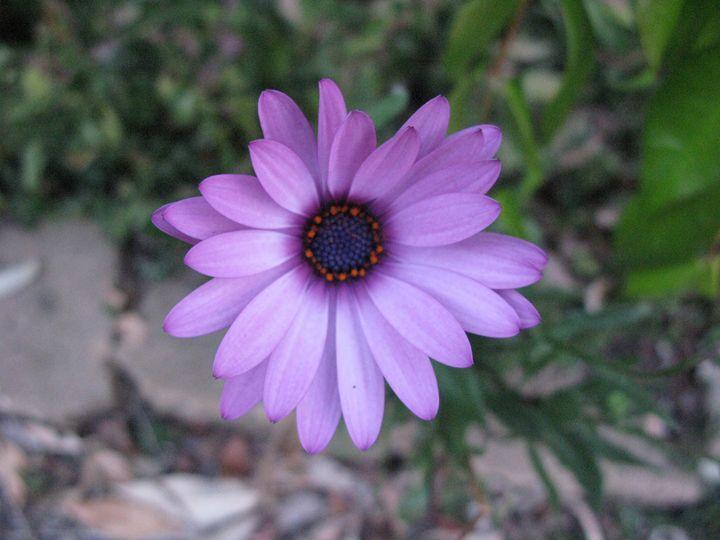 Purple Daisy - M.R.Art