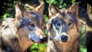 Animals - Wolves - Faithfulness - Sipo Liimatainen